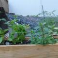 Mi pequeño Jardín Urbano:Orégano,Pimientos y Otras Cosas